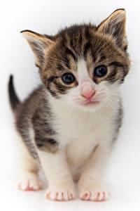 Обои Кошка Котята Взгляд Белый фон