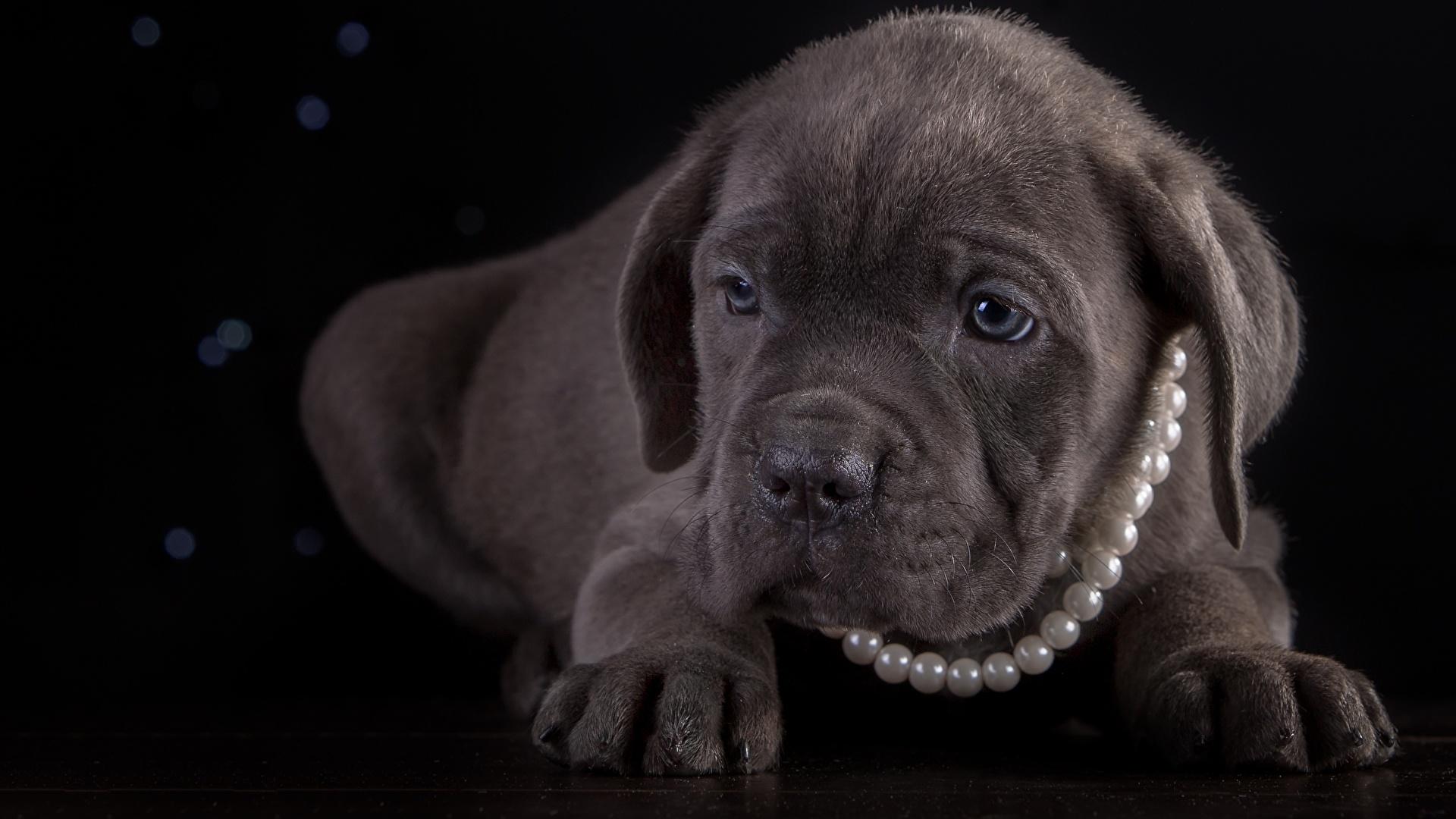 Картинка Щенок Кане корсо Собаки Жемчуг Лапы животное Черный фон 1920x1080 щенки щенка щенков собака лап Животные на черном фоне