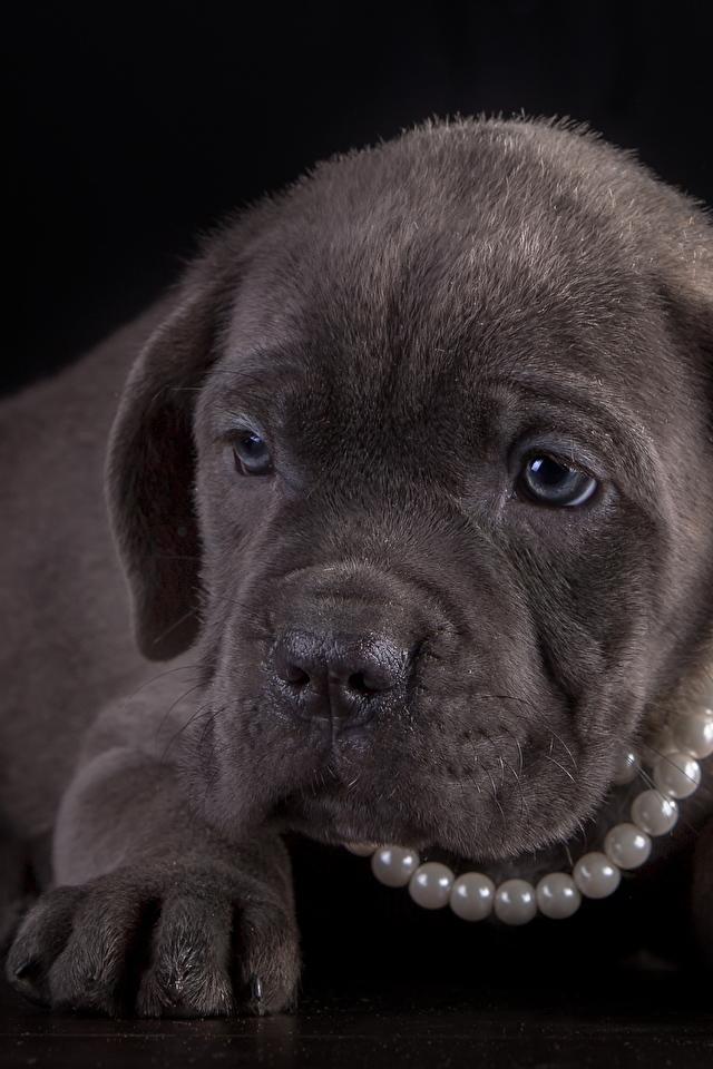Картинка Щенок Кане корсо Собаки Жемчуг Лапы животное Черный фон 640x960 для мобильного телефона щенки щенка щенков собака лап Животные на черном фоне