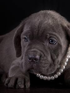 Картинка Собаки Жемчуг Щенок Кане корсо Лап Черный фон животное