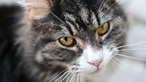 Картинка Кошки Смотрит Морда Усы Вибриссы животное