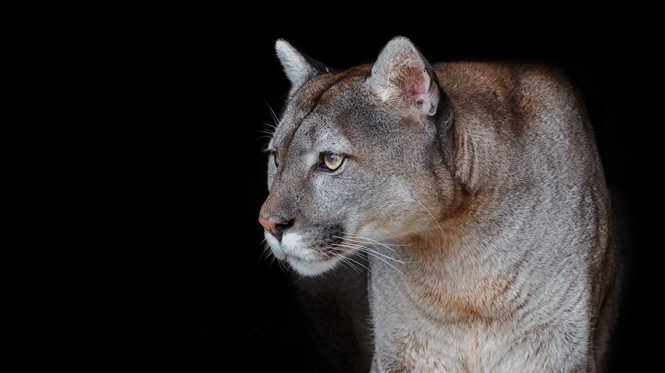 Фото Пумы смотрит животное на черном фоне 1366x768 пума Взгляд смотрят Животные Черный фон