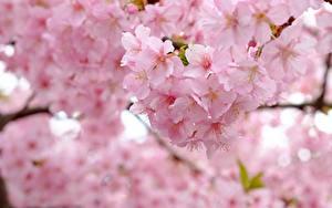 Фотография Вблизи Цветущие деревья Сакура Розовых Цветы