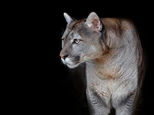 Фото Пумы Черный фон Смотрит Животные