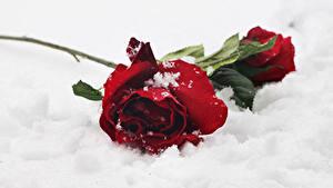 Обои Розы Красный Снег