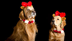 Обои Рождество Собаки Голден Черный фон Двое Рога животное