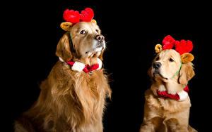 Обои Рождество Собаки Голден Черный фон Двое Рога Животные