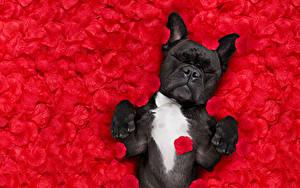 Картинка Собака Лепестков Красный Бульдога Спят Животные