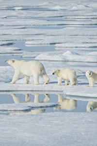 Фото Медведи Детеныши Вода Полярный Трое 3 Лед Животные