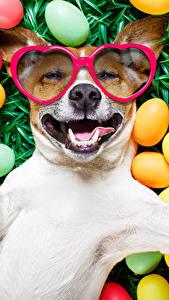 Обои Праздники Пасха Собака Яиц Очках Джек-рассел-терьер Смешные Улыбка животное