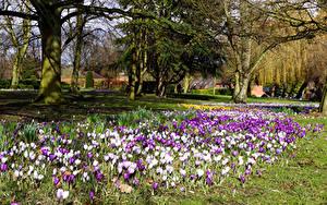 Фотографии Великобритания Парки Англия Весна Шафран Лондон Деревья Victoria Park Природа