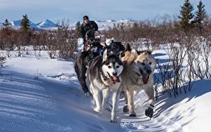Обои Зима Собаки Снег Тропа Хаски Бег Животные