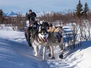 Обои Зима Собаки Снег Тропа Хаски Бег