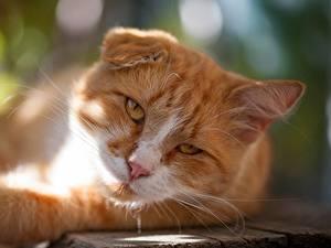 Фотография Кошки Рыжая Взгляд Морда Животные