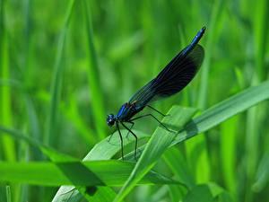 Фотографии Крупным планом Стрекозы Насекомые Траве Calopteryx virgo Животные