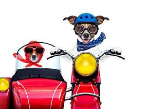 Картинки Собаки Мотоциклист Белый фон Джек-рассел-терьер Смешные Шлем