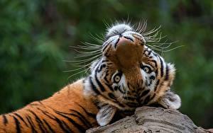 Картинка Тигры Смотрит Животные