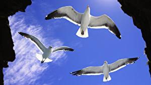 Картинка Птицы Чайка Трое 3 Летят Животные
