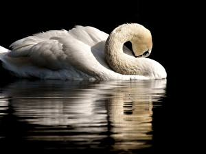 Обои Птицы Лебеди На черном фоне Отражение Белых животное
