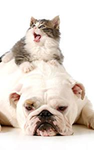 Картинка Собаки Кошки Белый фон Бульдога