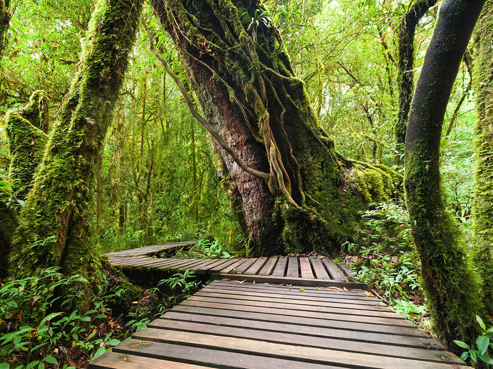 Обои для рабочего стола Таиланд Doi Inthanon National Park Природа лес Парки Тропики Ствол дерева Мох 1600x1200 Леса парк тропический мха мхом