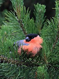 Фотография Птицы Снегирь Вблизи Ветвь Ель Животные