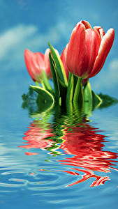 Фото Тюльпан Вода Красных цветок