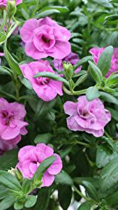 Картинка Калибрахоа Крупным планом Фиолетовый Цветы