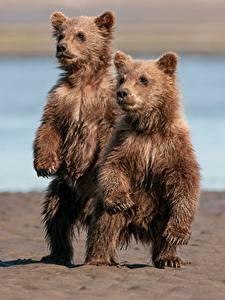 Картинки Медведи Гризли Детеныши 2 Животные