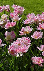 Обои Тюльпаны Розовые Keukenhof цветок