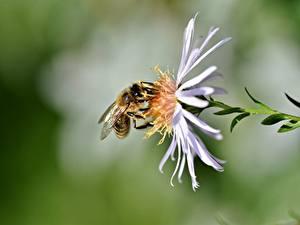 Обои Крупным планом Пчелы Насекомые Размытый фон животное