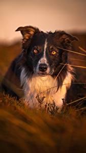 Обои для рабочего стола Собака Вечер Бордер-колли Взгляд Трава Животные