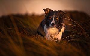 Фото Собака Вечер Бордер-колли Взгляд Трава