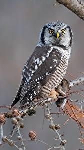 Картинки Совы Птица Смотрит Ветвь northern hawk-owl животное