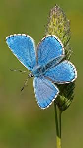 Обои для рабочего стола Бабочки Крупным планом Голубой Adonis blue животное