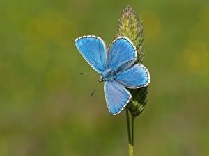 Фото Бабочки Крупным планом Голубой Adonis blue животное