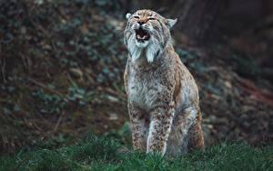 Фотографии Клыки Рысь Боке Усы Вибриссы животное