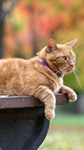 Фотография Коты Рыжий Скамья Животные