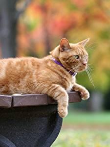 Фотография Кошка Рыжая Скамья животное