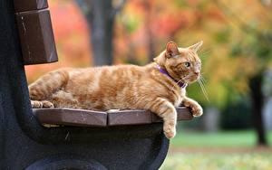 Фотография Коты Рыжая Скамья животное