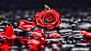 Фото Розы Лепестки Красный