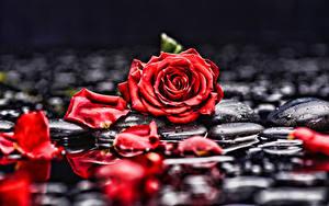 Фото Розы Лепестки Красный Цветы