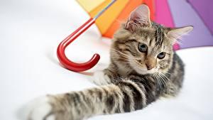 Обои Коты Лапы Зонт Смотрит Животные