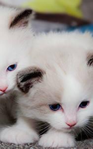 Обои для рабочего стола Кошка Котенок Двое Белых Животные