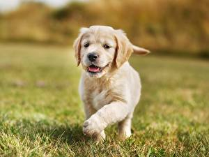 Картинки Собака Золотистый ретривер Щенки Траве