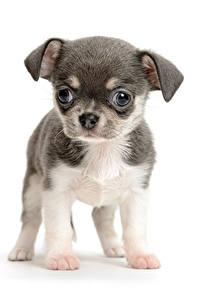 Картинка Собака Белом фоне Щенков Чихуахуа Животные