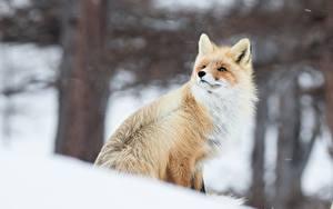 Фотографии Лисица Зимние Животные