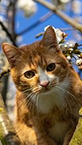 Фотографии Коты Ветвь Смотрит Усы Вибриссы Рыжая