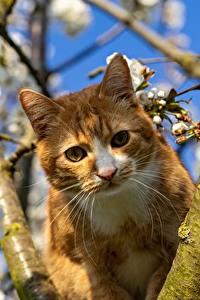 Фотографии Коты Ветвь Смотрит Усы Вибриссы Рыжая животное