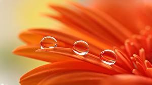 Картинки Макросъёмка Вблизи Гербера Оранжевых Капельки Лепестки Цветы